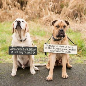 Dogs wearing signs announcing pregnancy
