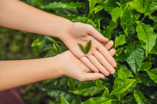 hands picking tea leaves heart
